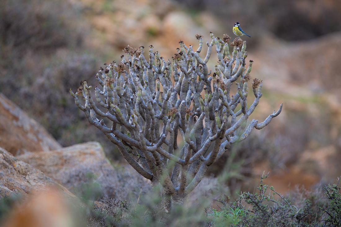Fuerteventura Blue Tit | Kanarenmeise