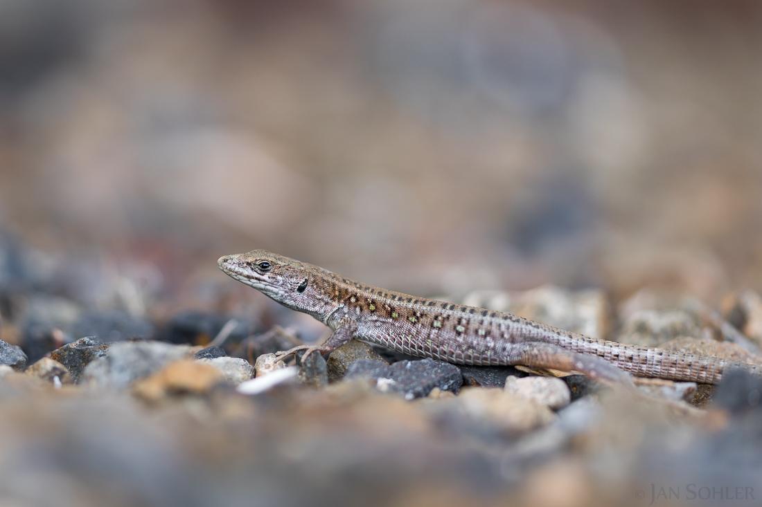 Atlantic Lizard | Ostkanareneidechse
