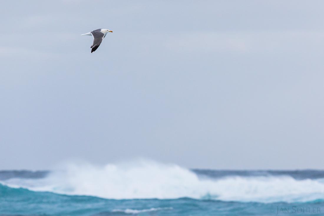 Yellow-legged Gull | Mittelmeermöwe