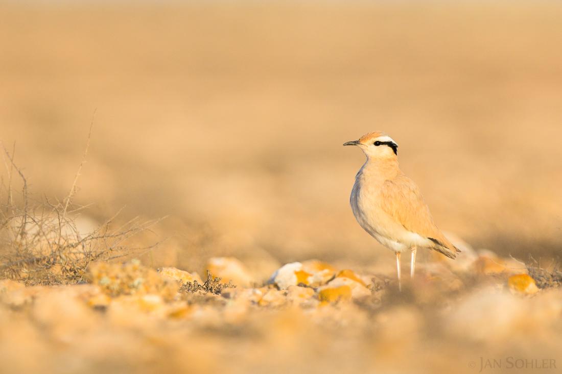 Cream-coloured Cursor | Rennvogel