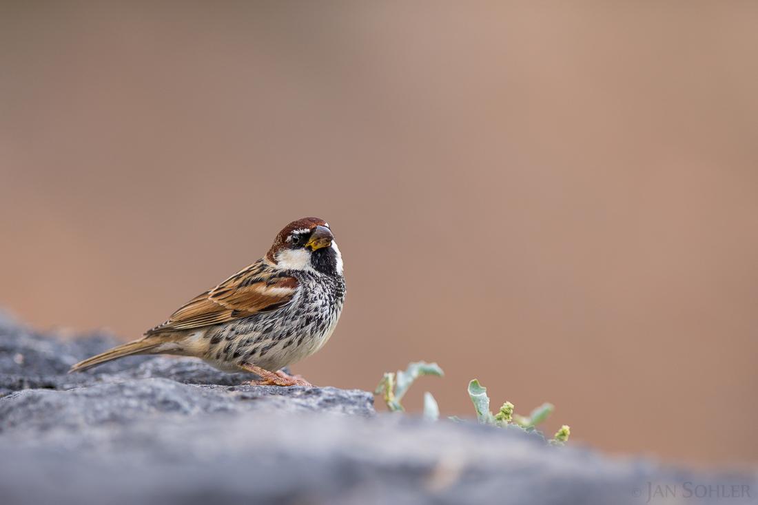 Spanish Sparrow | Weidensperling