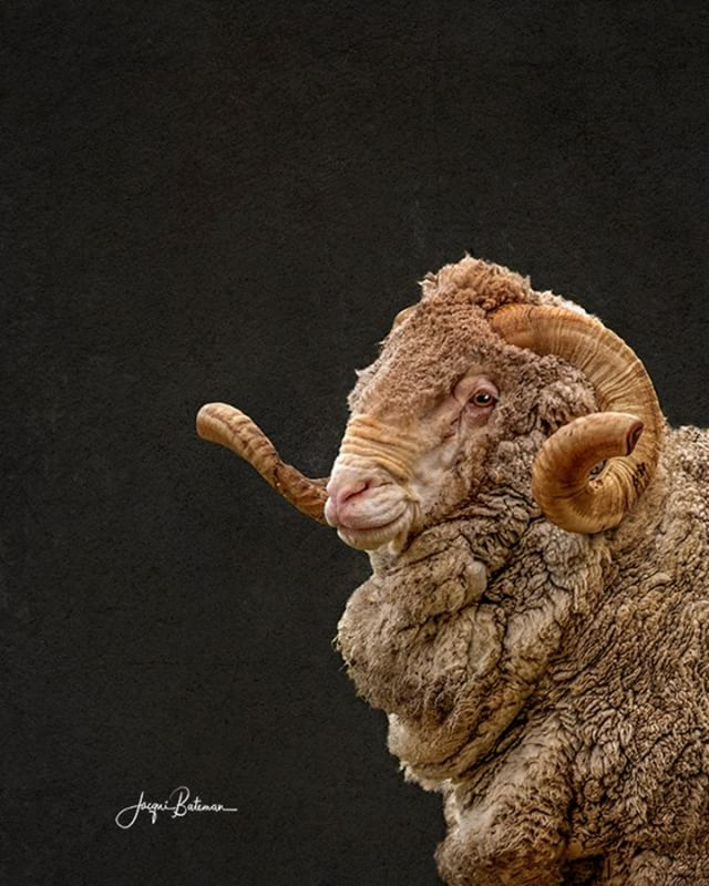 So, I could have called this bloke, 'Bruce' or 'Kevin' but because the #merino sheep has #spanish origins, I thought I'd do the honour of giving him a name fitting his impeccable breeding. 'Fernando' sounded pretty good. #jacquibatemanphotography #jacquibateman #ruralphotographer #ruralphotography #livestockphotography #livestockphotographer #limestonecoastphotographer #australianfarming #rural #rurallife #agriculture #australianagriculture #ruralaustralia #sheep #sheepofinstagram #wool #merinowool #farmers #southaustralia #spain #spanishmerino #merino #ram #horns #australianmerinowool #australianmerino