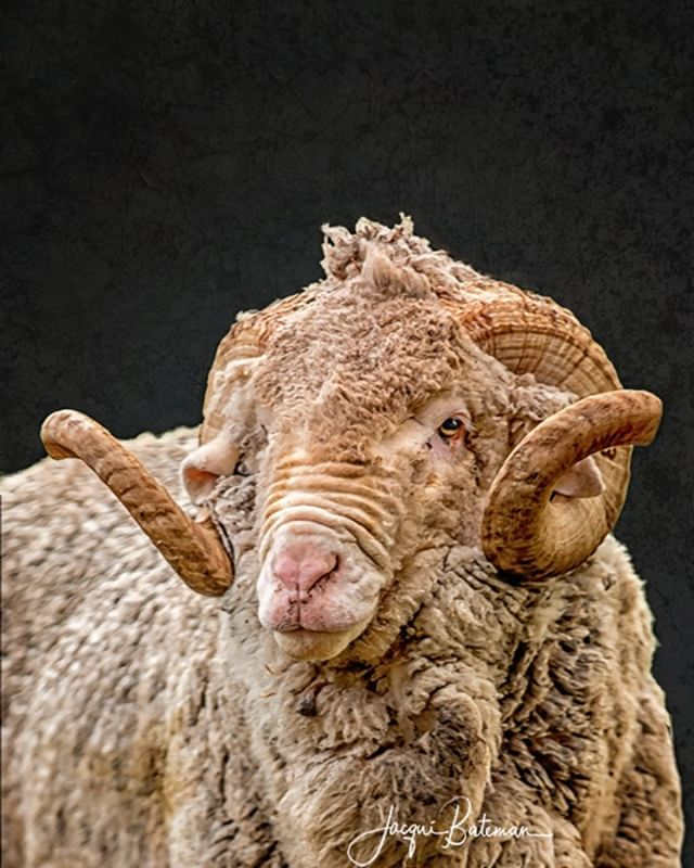 And we can't forget Carlos #jacquibatemanphotography #jacquibateman #ruralphotography #ruralphotographer #livestockphotographer #livestockphotography #australianfarming #legacyoftheland  #ruralaustralia #sheep #sheepofinstagram #australianwool #merinowool #wool #merino #ram #horns #spanish #spanishmerino #spain  #robephotographer #limestonecoastphotographer #rural #farm  #agriculture #australia #australianagriculture #farmlife #ruralaustralia