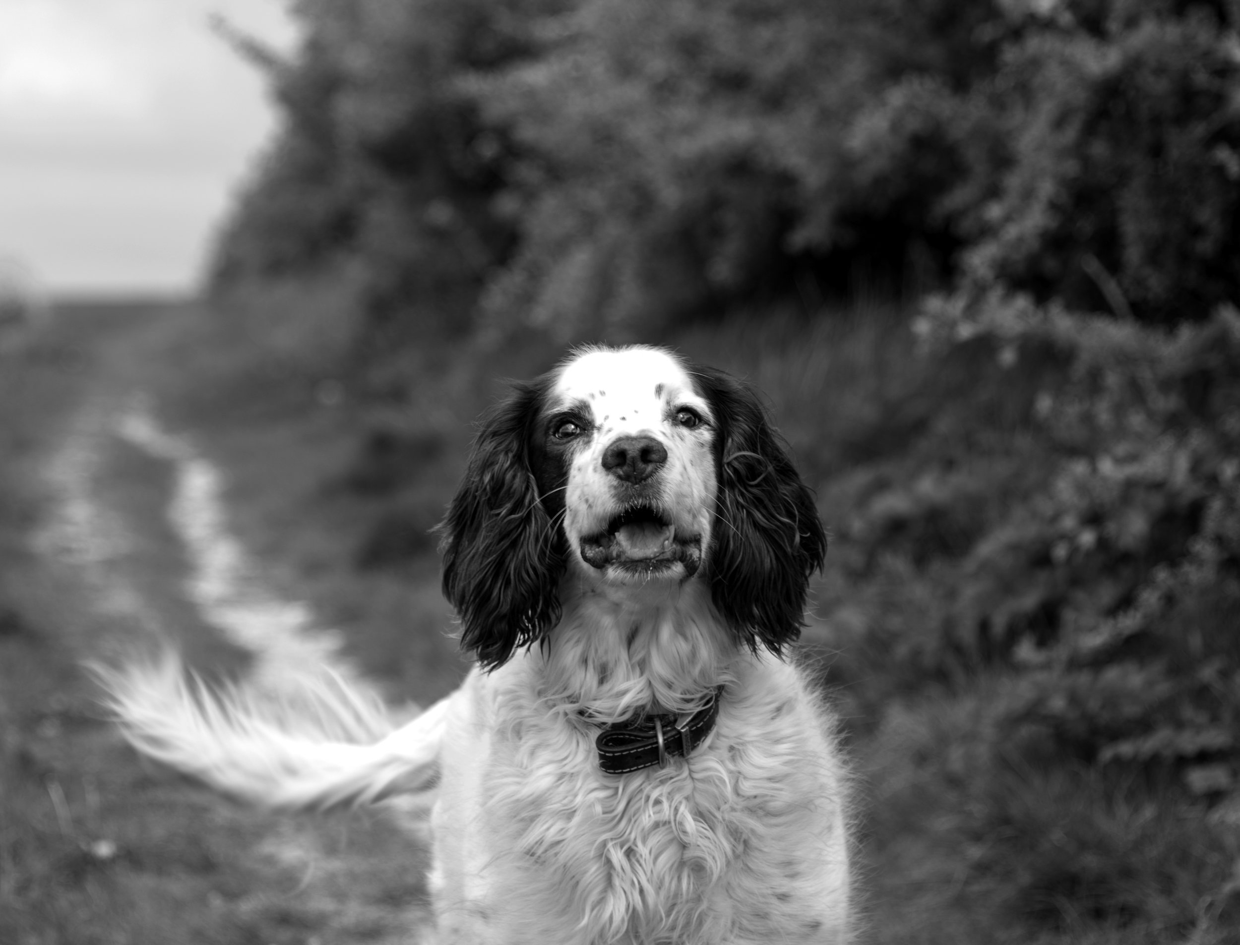 Spaniel wagging its tail on The Downs.jpg