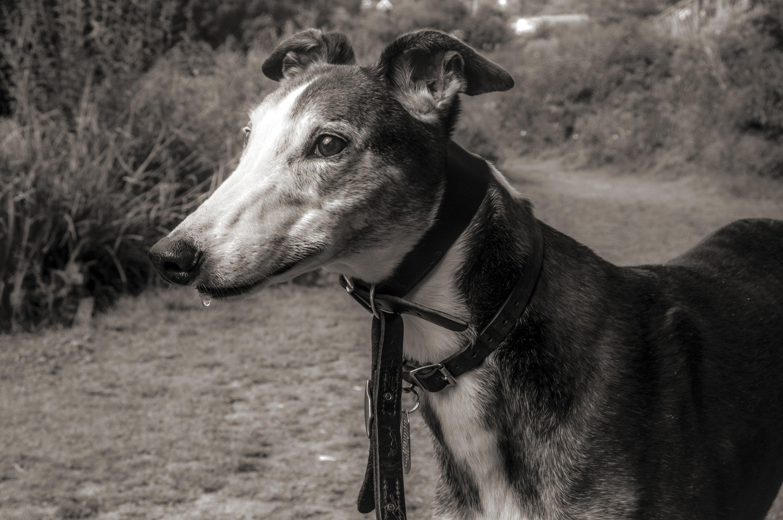 An older greyhound