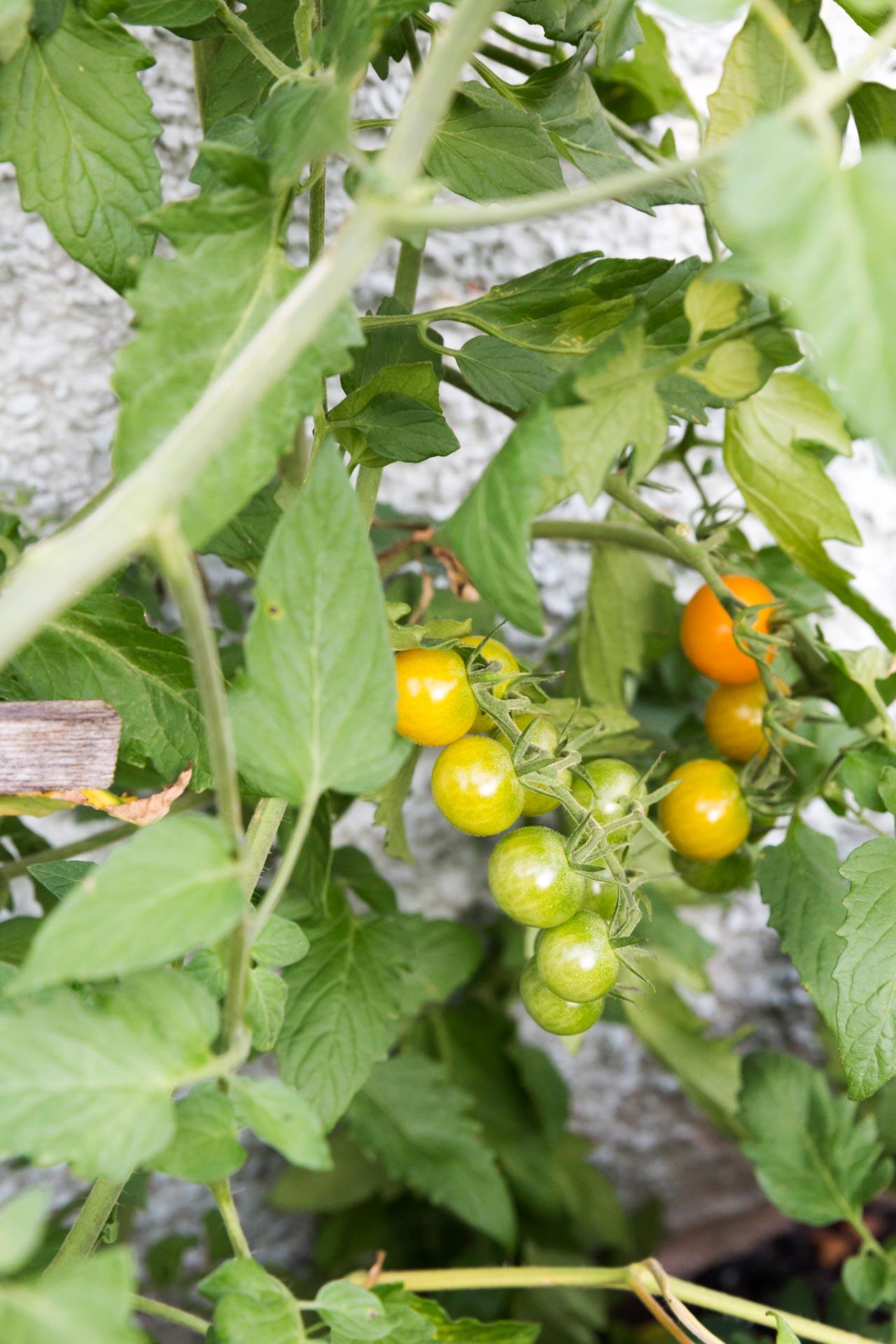 tomatoes in The Ferg garden