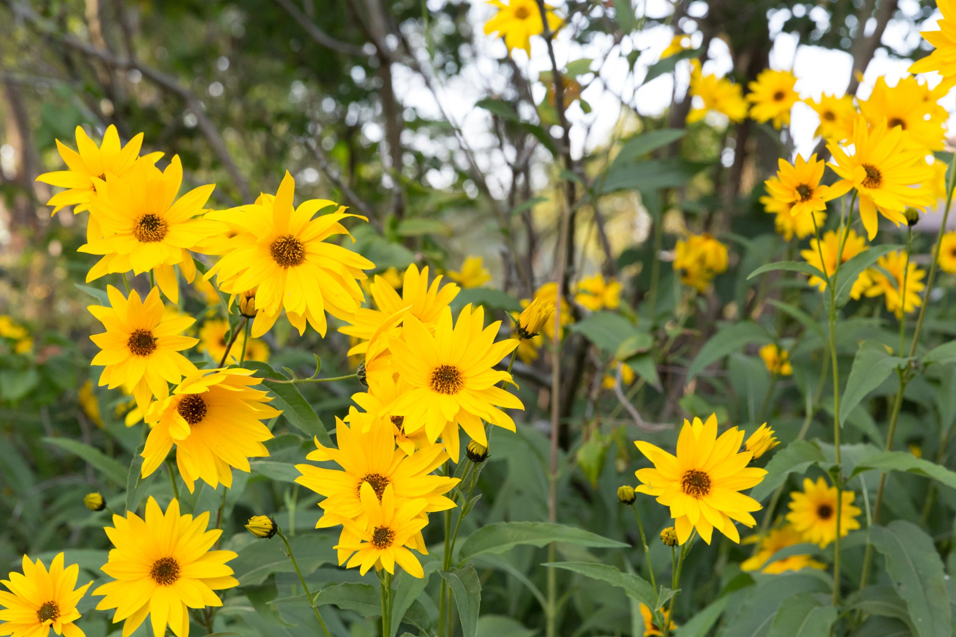 yellow flowers in The Ferg garden
