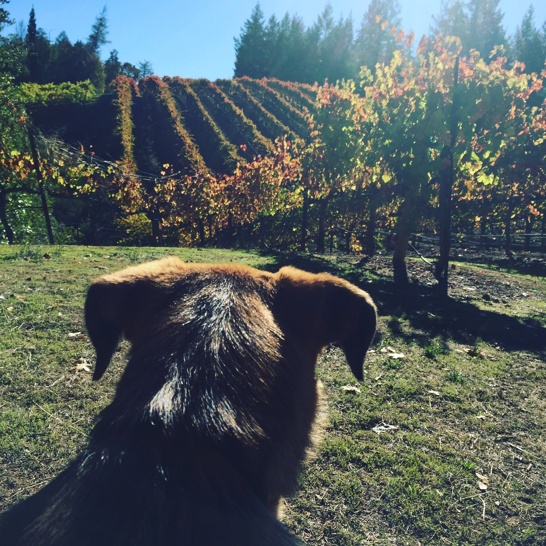 Elsa looking over the syrah.