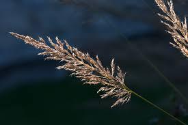 wheat.jpeg