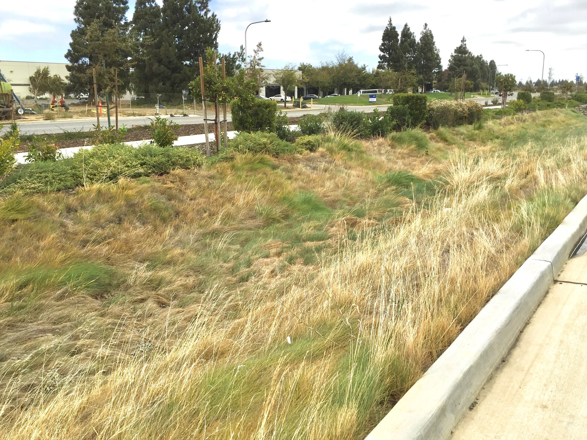 Stormwater swale with Native grasses