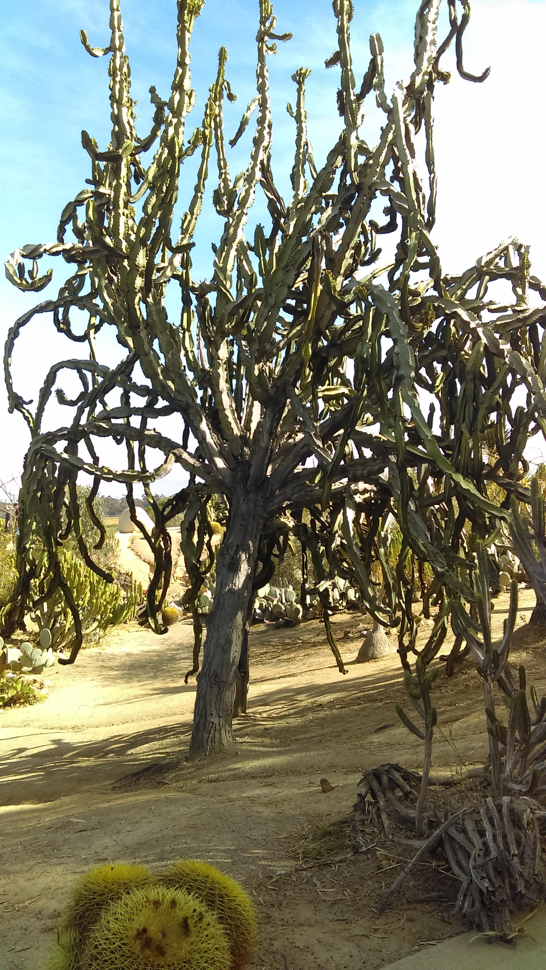 Stevko-San Diego-Tree Cactus.jpg