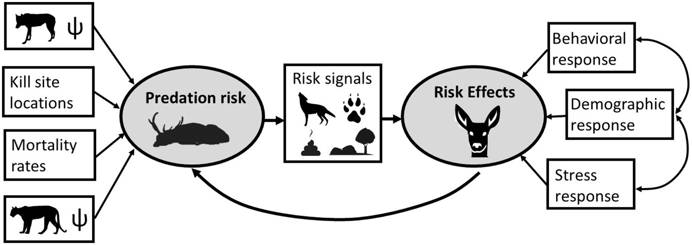Fig. 3. Example of a structural equation model (SEM) approach that could be used to tease apart multiple facets of  predation  risk and risk effects. Unmeasurable latent variables are shown in grey ovals, and measurable indicator variable are shown in rectangles. In this example, occupancy probabilities (ψ) of coursing predators (e.g., wolves) and ambush predators (e.g., cougars) could be used as indicators of predation risk, along with other variables such as characteristics of kill site locations or mortality rates caused by each predator. Predation risk could then be linked to risk effects through measurable signals of risk, such as calls, scats, tracks, or habitat features, as well as measurable responses to risk (see  Fig. 1  for examples). The  SEM  also includes an effect of risk effects on predation risk, because risk effects may reduce predation risk. Although a given study is unlikely to have data on all of these components, we show a relatively comprehensive (yet simplified) SEM that could be adjusted based on collected data and study goals.
