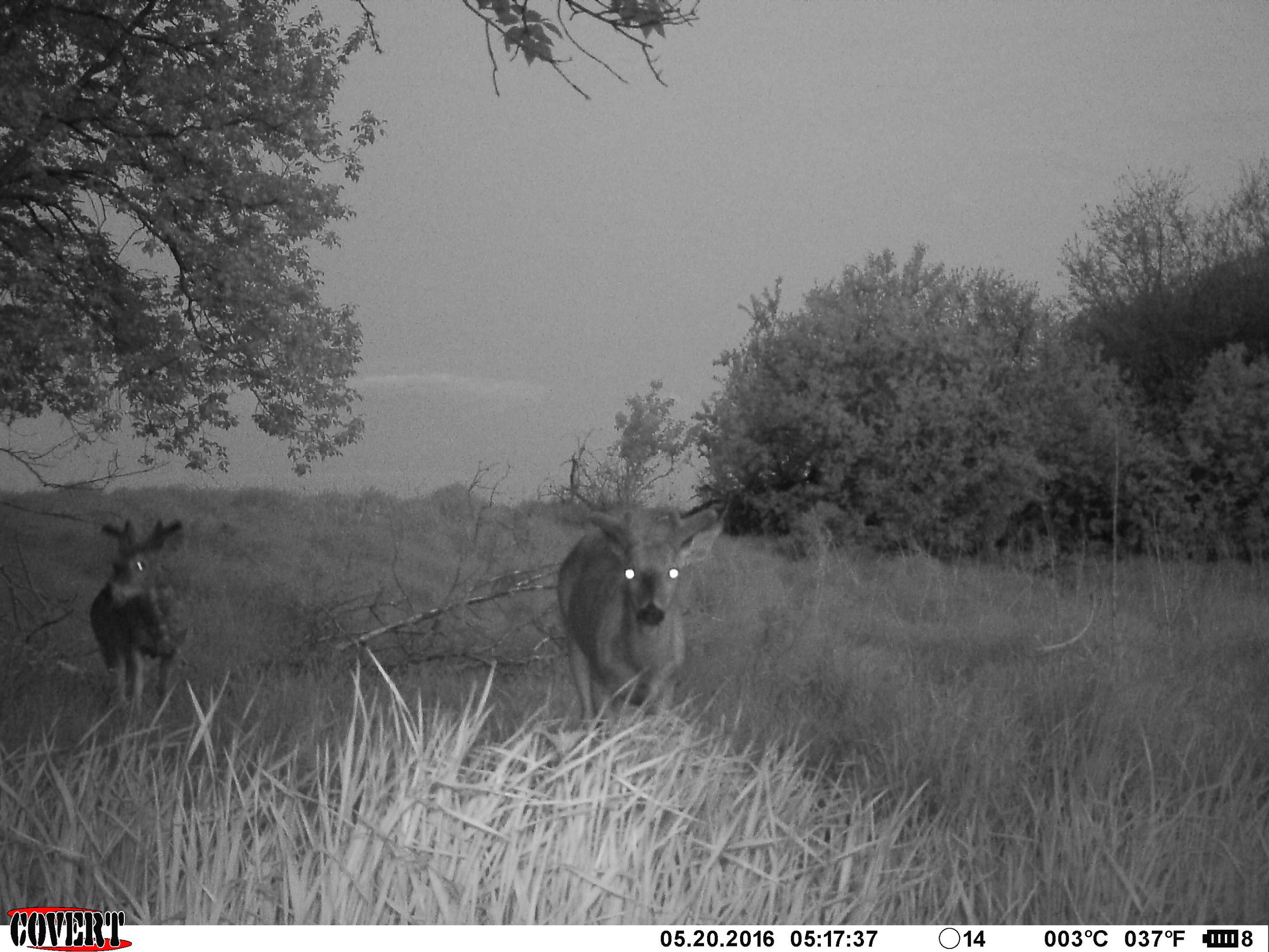 A recent trail camera picture of two bucks hitting a mineral site.