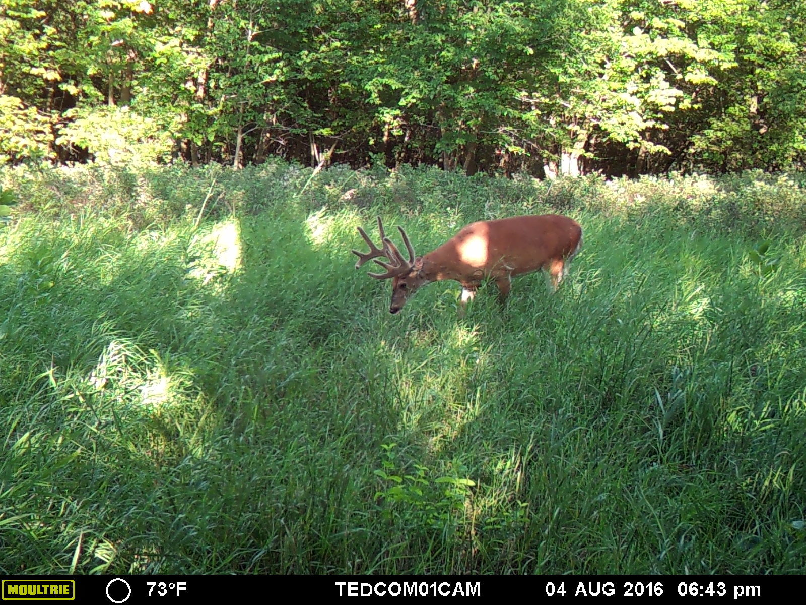 """The last couple pictures we have of the buck """"Kobe""""."""