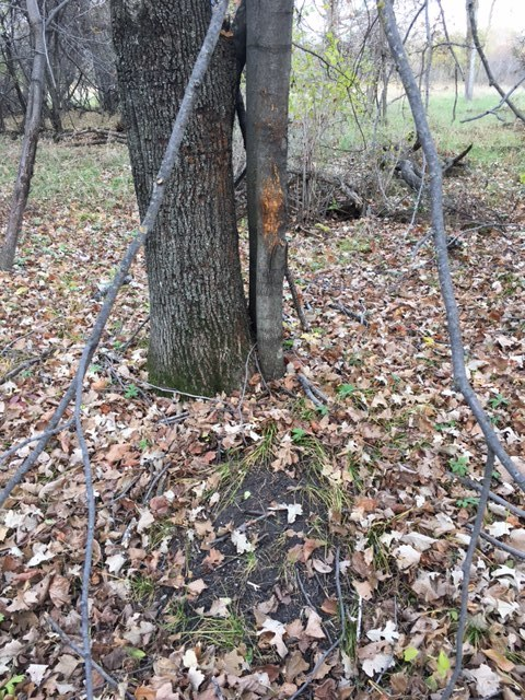 Mid to late October, rubs and scrapes will start to show up everywhere.