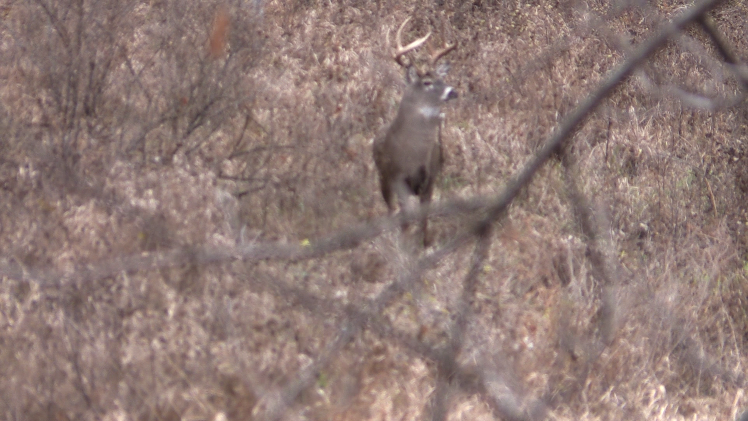 My first good look at the buck when he was roughly 60 yards away and headed right for me.