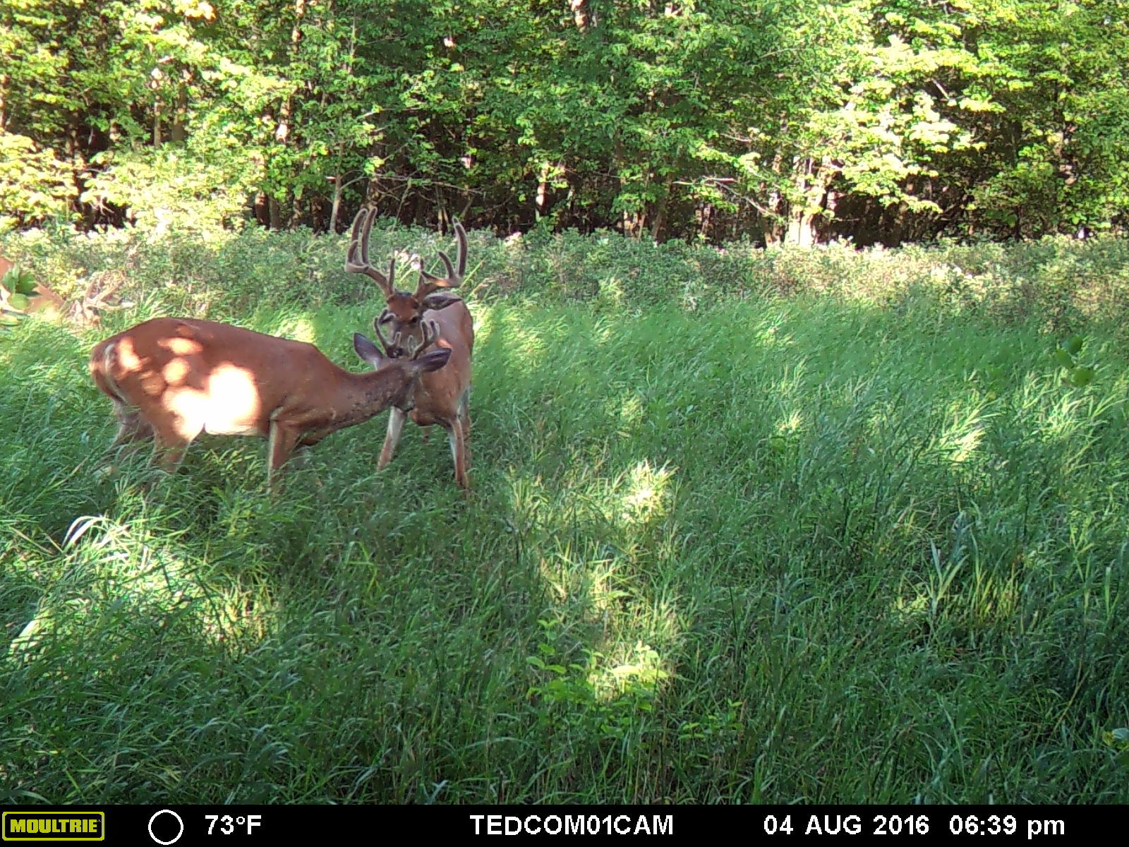 One of numerous shooter bucks I had on trail camera during the summer. This buck, still alive to my knowledge slipped out of my fingers more than once.