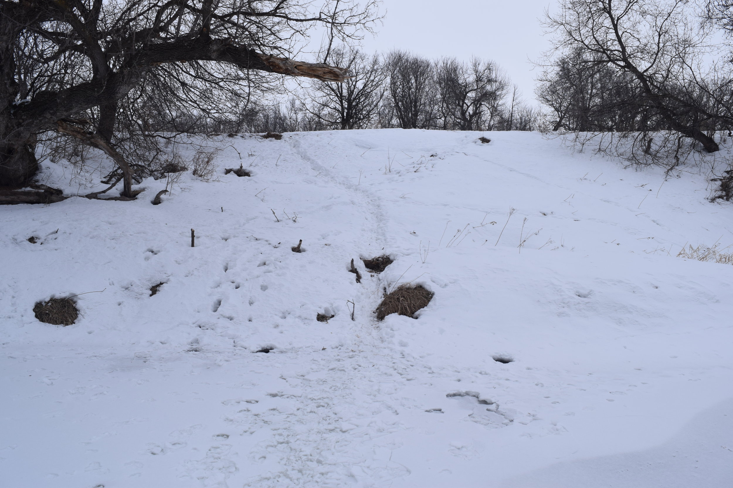 Deer trails such as this one covered the public land river bottom.