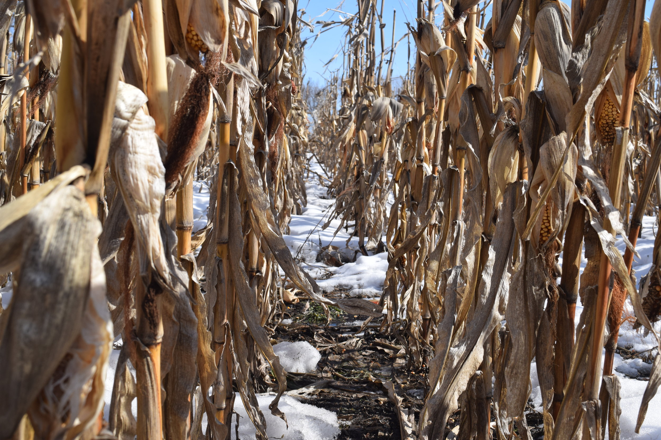 Searching for sheds in standing corn.