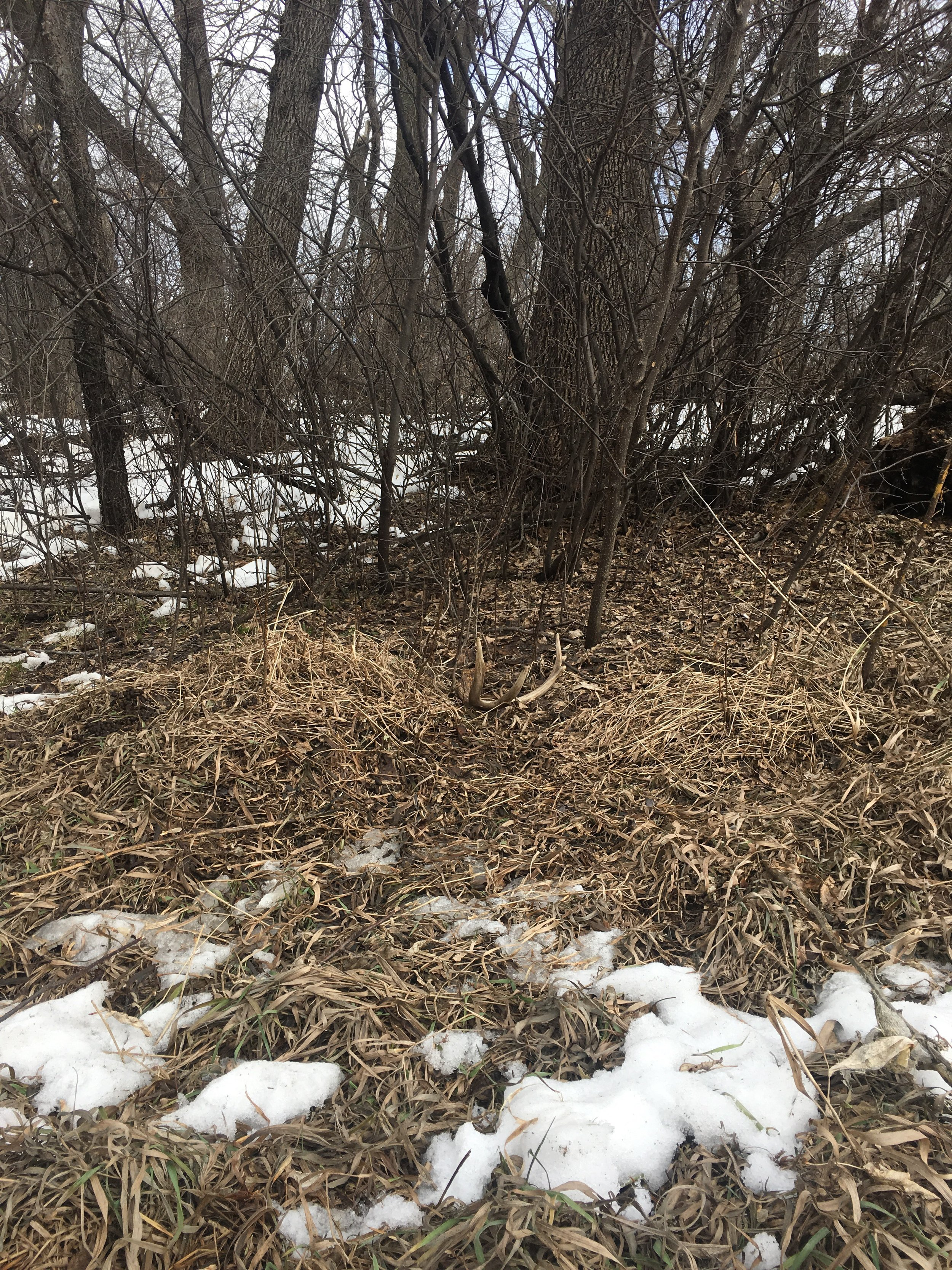 Sheds can sometimes be hiding in plain sight like this one as it blends in with it's surroundings. Want to avoid making some mistakes while out shed hunting? Read this -->  5 Mistakes You've Been Making Shed Hunting This Year