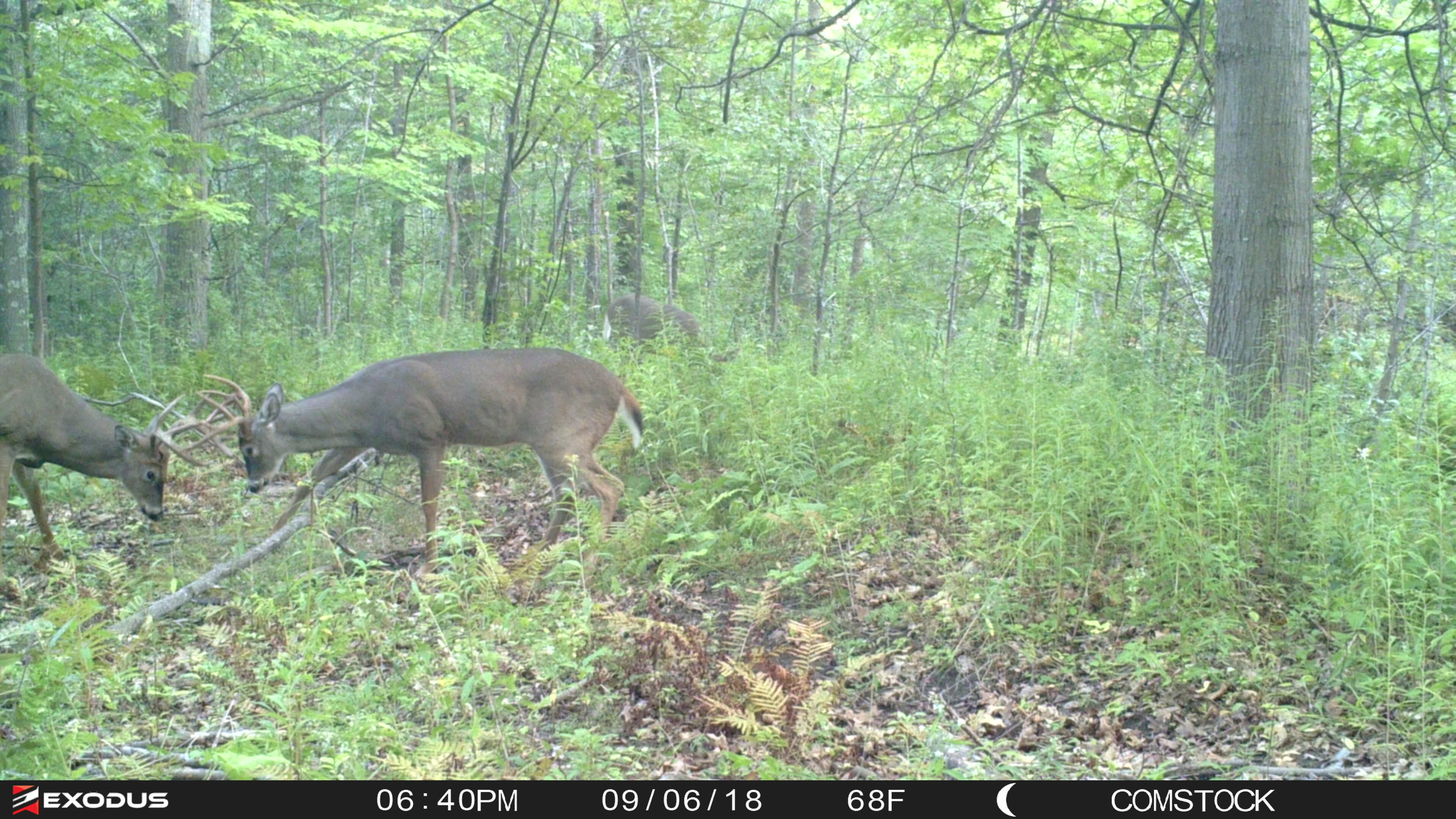 A lot of changes are going on with bucks as they shed their velvet, including shifting home ranges in some cases.