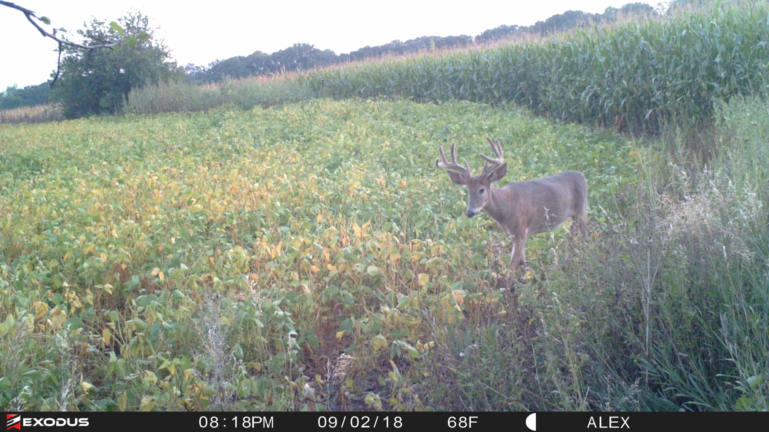 The buck, two nights before I ended up shooting him.