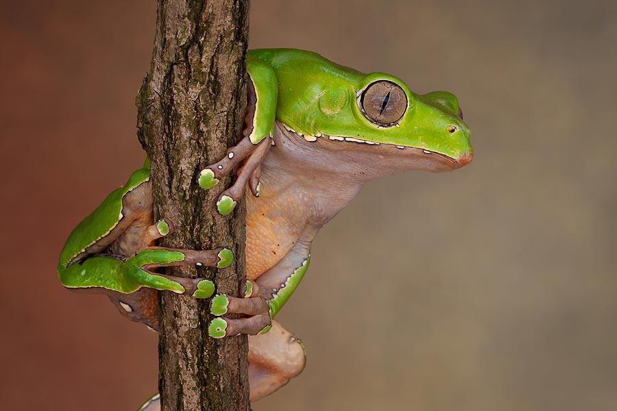 giant-waxy-monkey-tree-frog.jpg