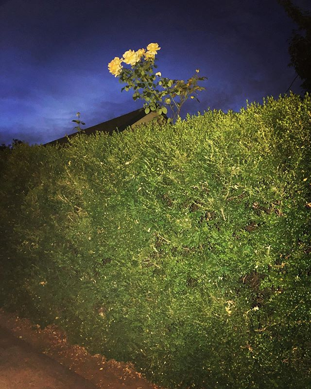 This rose bush growing straight up outta this ginormous hedge is giving me life #yougogirl #yougotthis #cityofroses