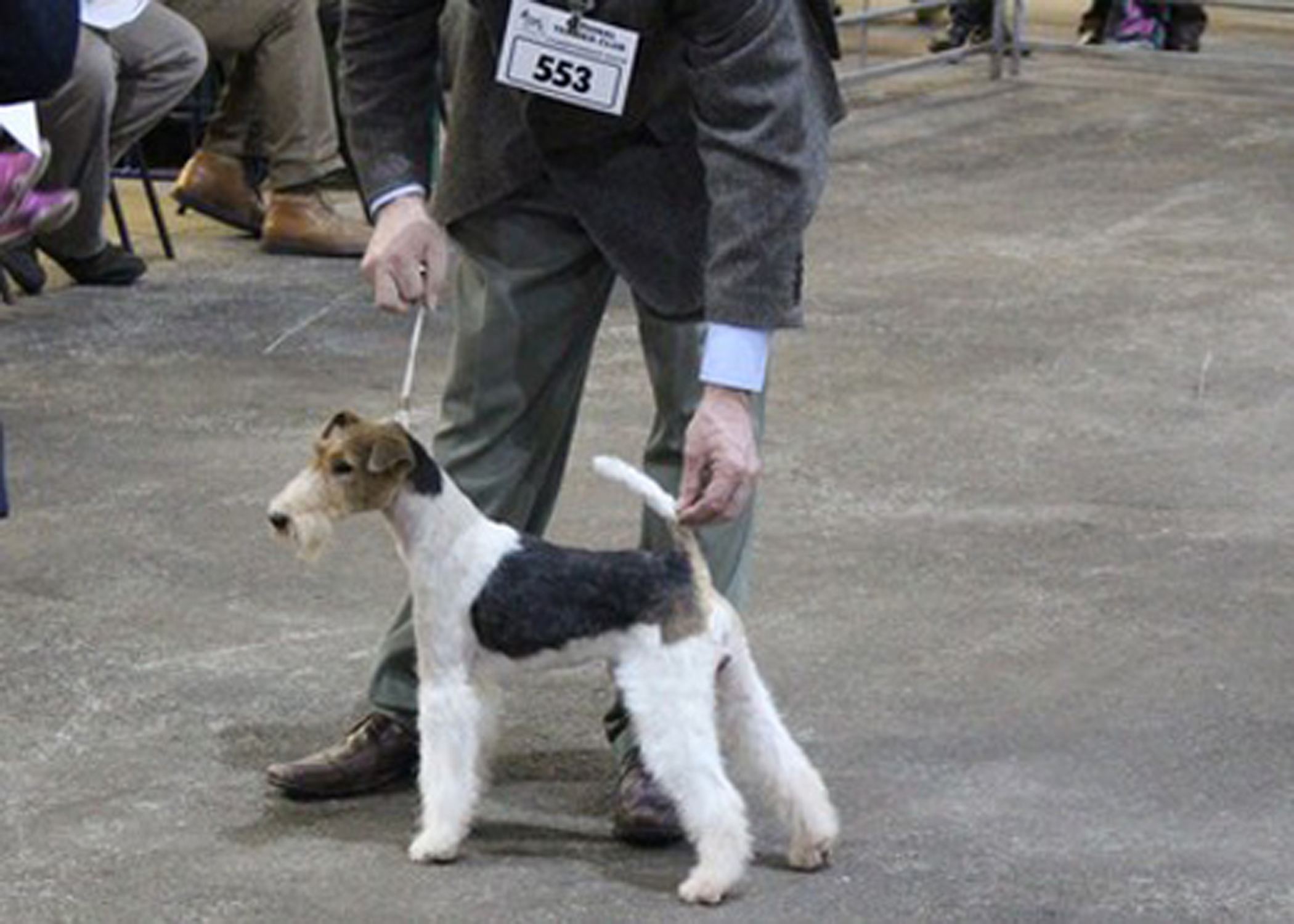 Newcomer Jimmy (Saredon Make My Day) at the National Terrier Show 2016