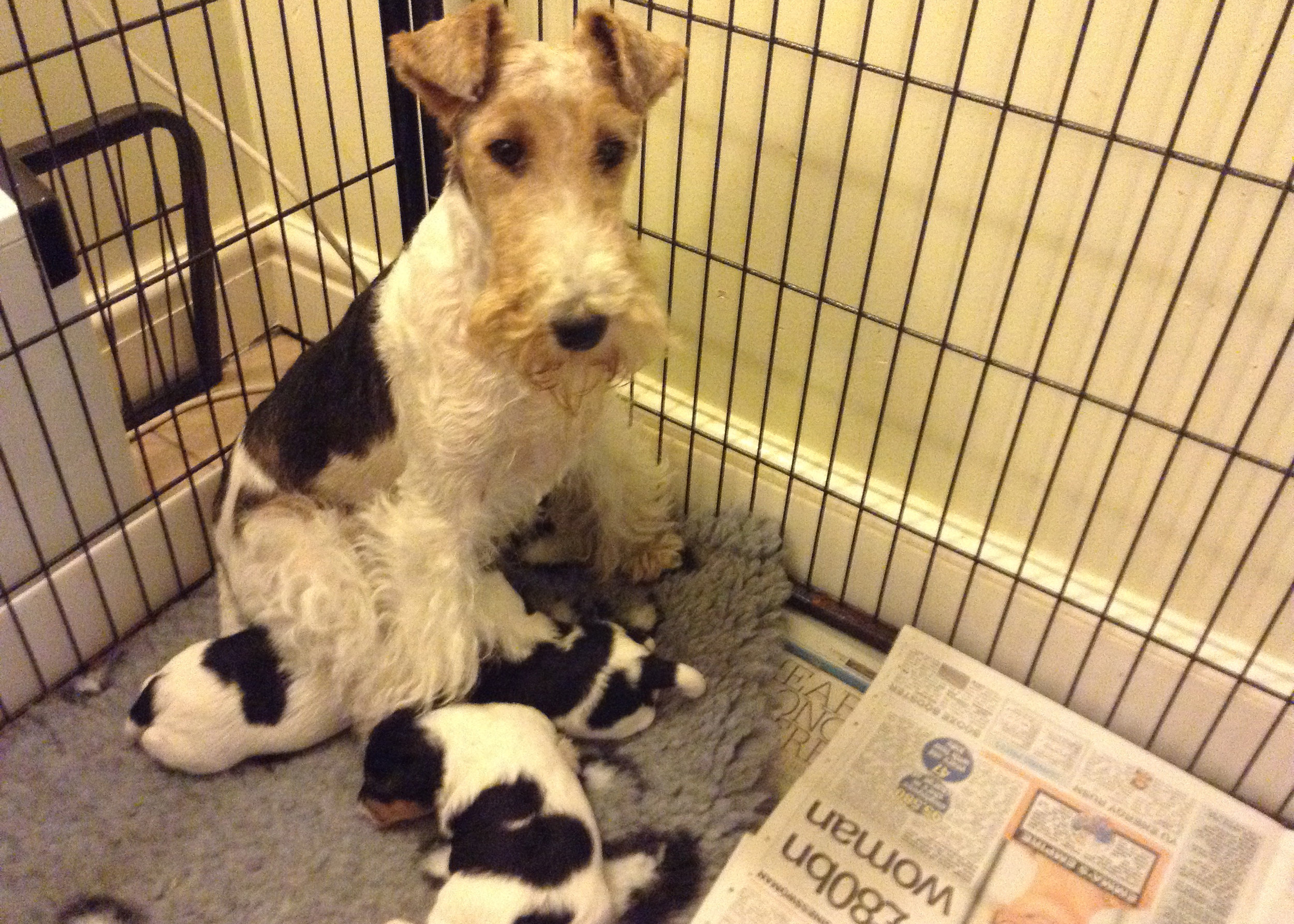 Proud mum Angel with her puppies, sired by Irvonhill Cider Cup.