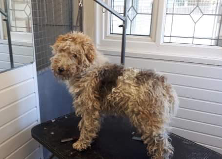 BEFORE: This dog arrived very badly matted