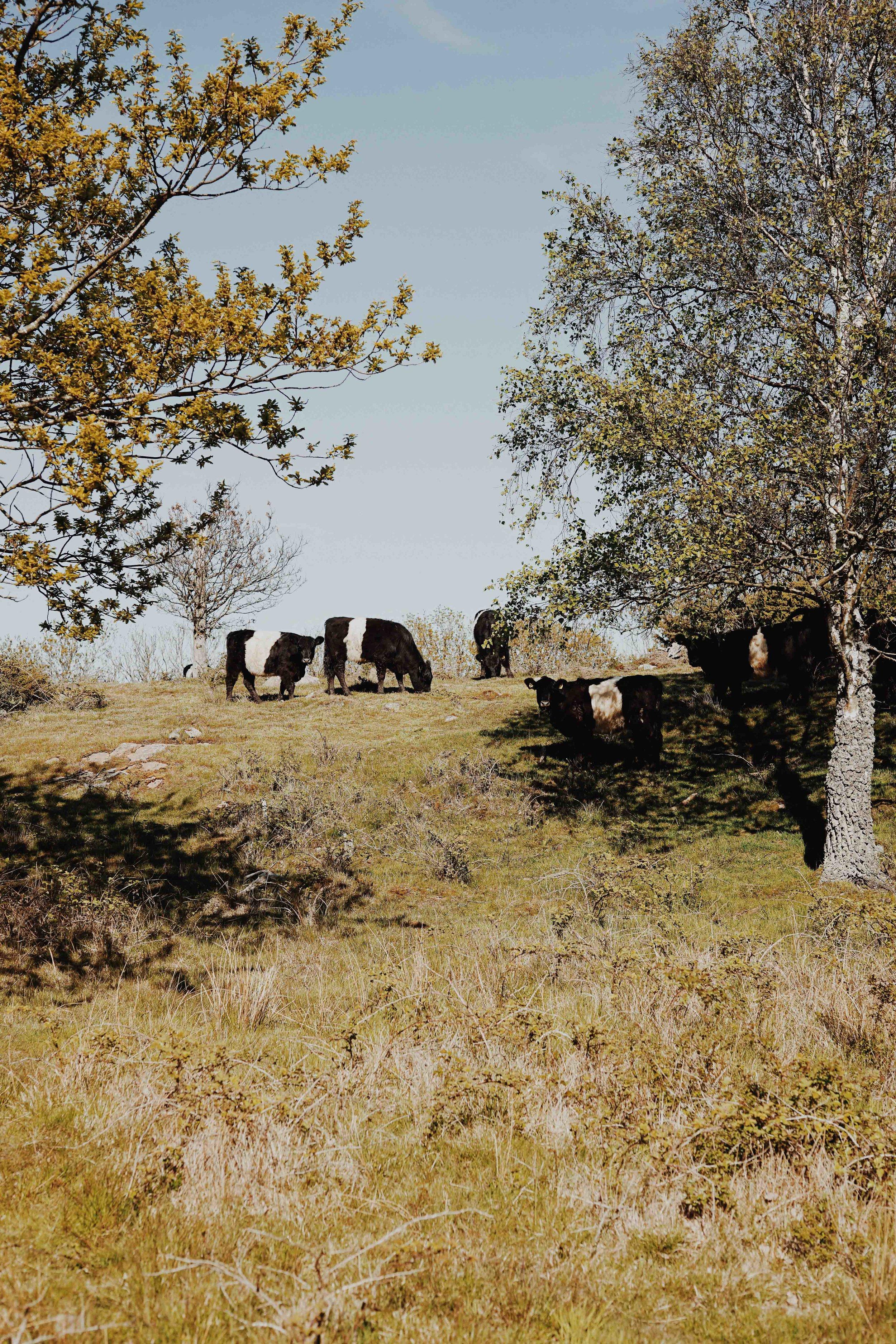 ASROSENVINGE_VisitSkane_Sweden_Molle_Kullaberg_Field_Cow_Herd_LowRes-115.jpg