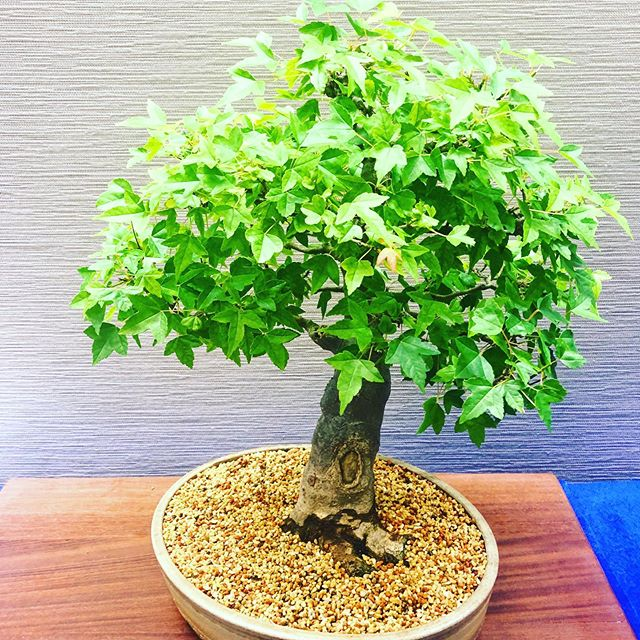 No Gucci.  No Yeesy.  No LV for me!  I'd rather the natural beauty,  of a sweet squatty #bonsai tree.  #birminghambotanicalgardens