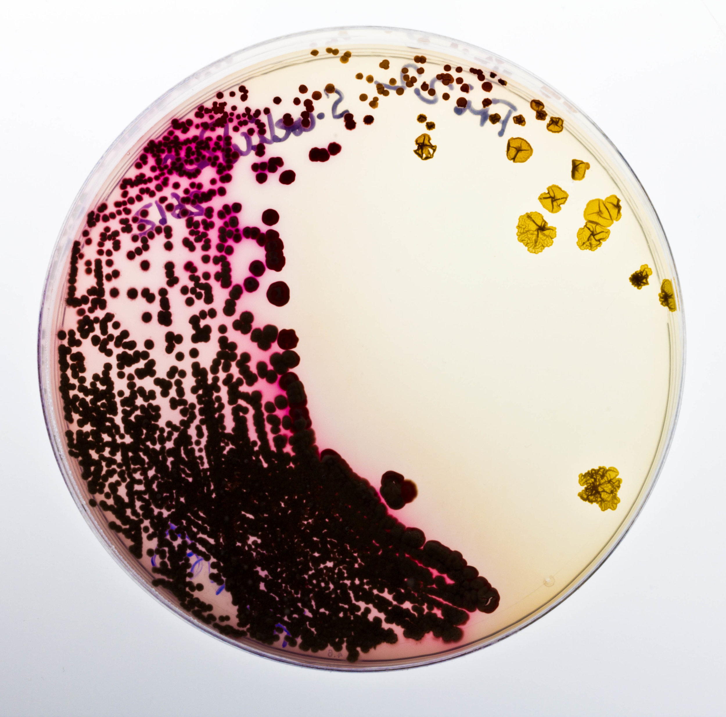 A petri dish containing pigment-producing bacteria, Cultivated by Natsai Audrey Chieza, Faber Futures