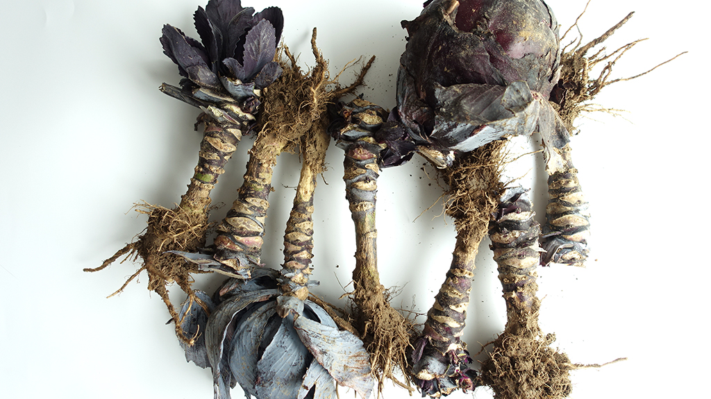 Red Cabbage that is too small to be sold at grocery stores is among the biodegradable vegetable wastes employed by Angelique van der Valk.