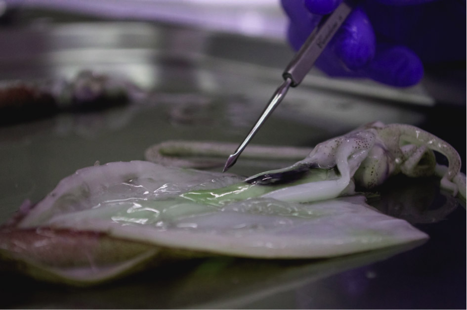 Ink and Luminous bacteria, naturally existing in Octopii,being isolated at BioArt Laboratories.