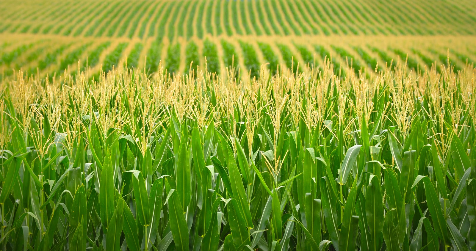 Biotech Crops Contributes _US$127,000 to Argentina's Economy.jpg
