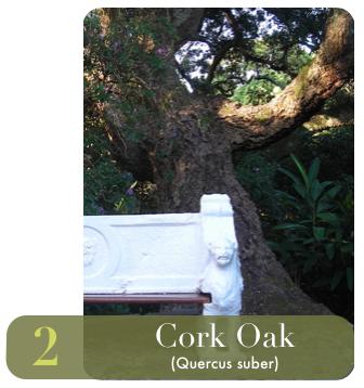 cork oak tree arderne.png