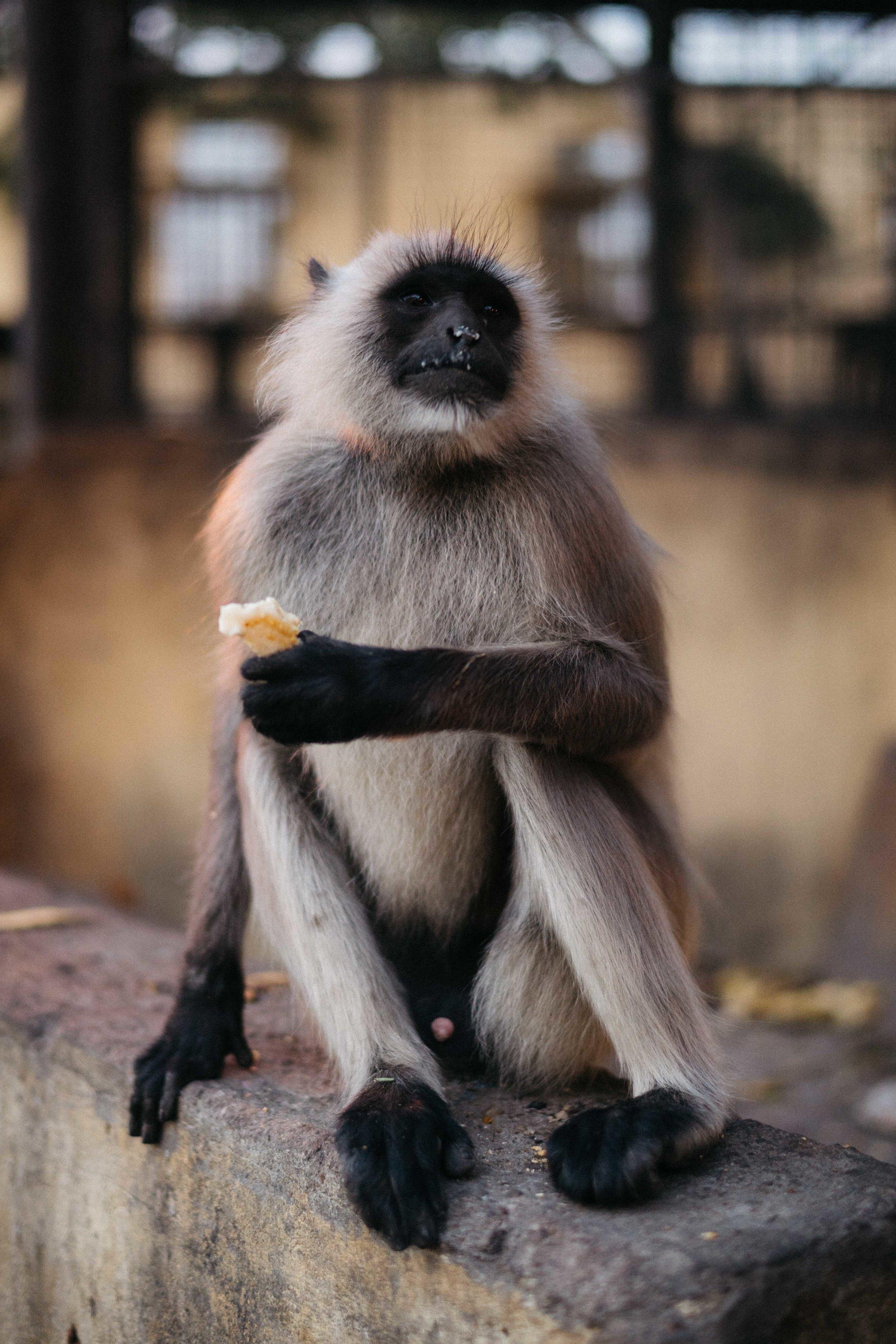Monkey, jaipur-8.jpg