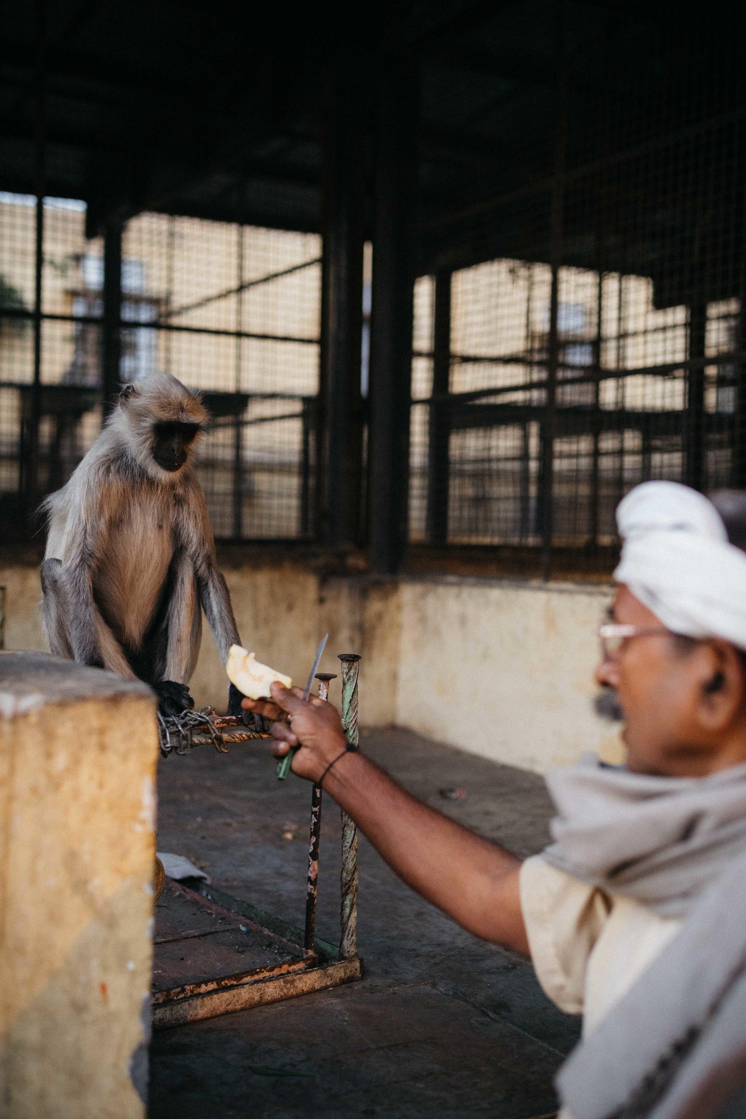 Monkey, jaipur-9.jpg
