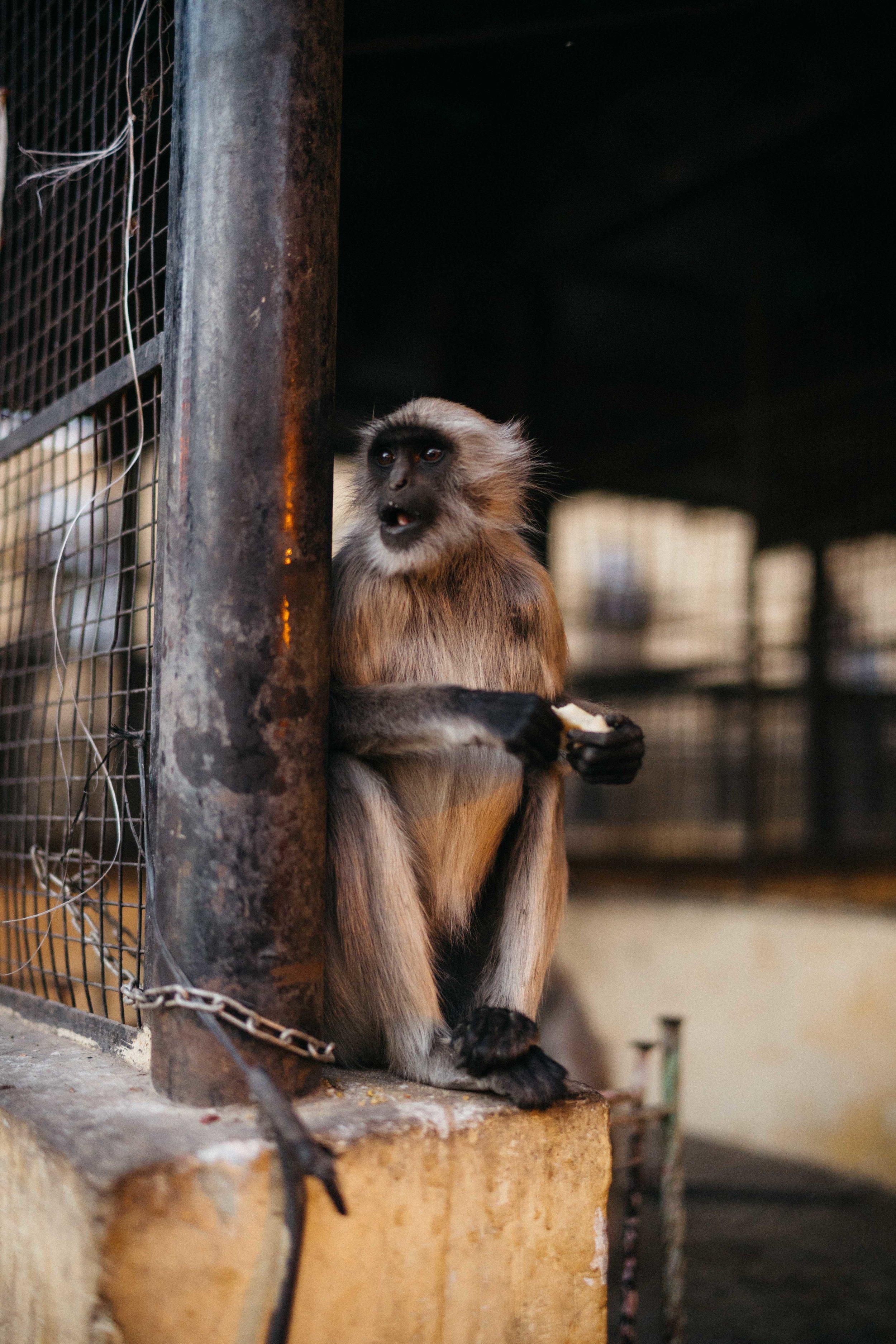 Monkey, jaipur-10.jpg