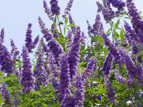 """Vitex or """"Chaste berry"""" as it is also called."""