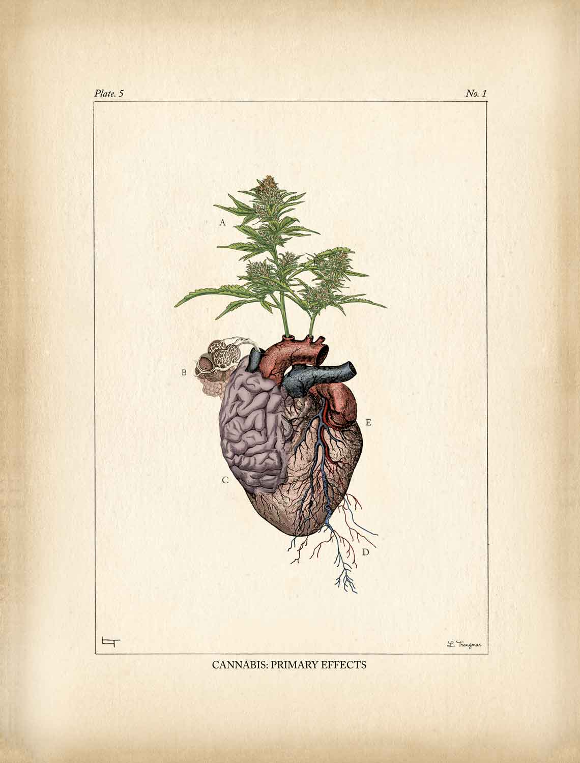Cannabis: Primary Effects