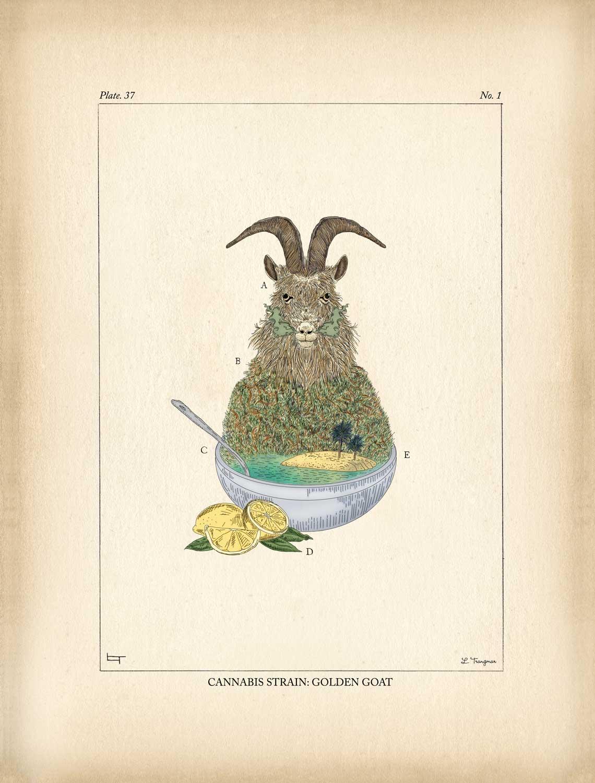 Cannabis Strain: Golden Goat