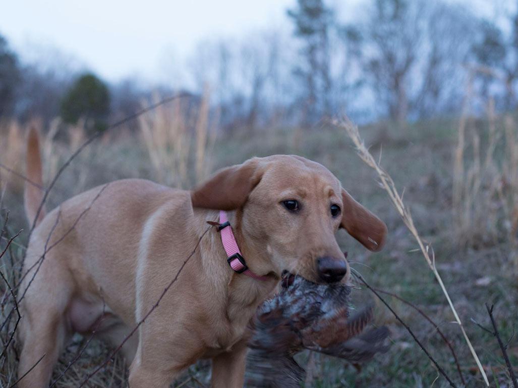 iowa-red-labs-hunting-dogs-happy-customers-tim-karuth-3.jpg