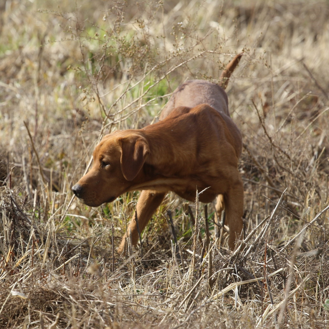 Kodiak — Fox Red Pointing Lab Puppies For Sale - Iowa Red Labs
