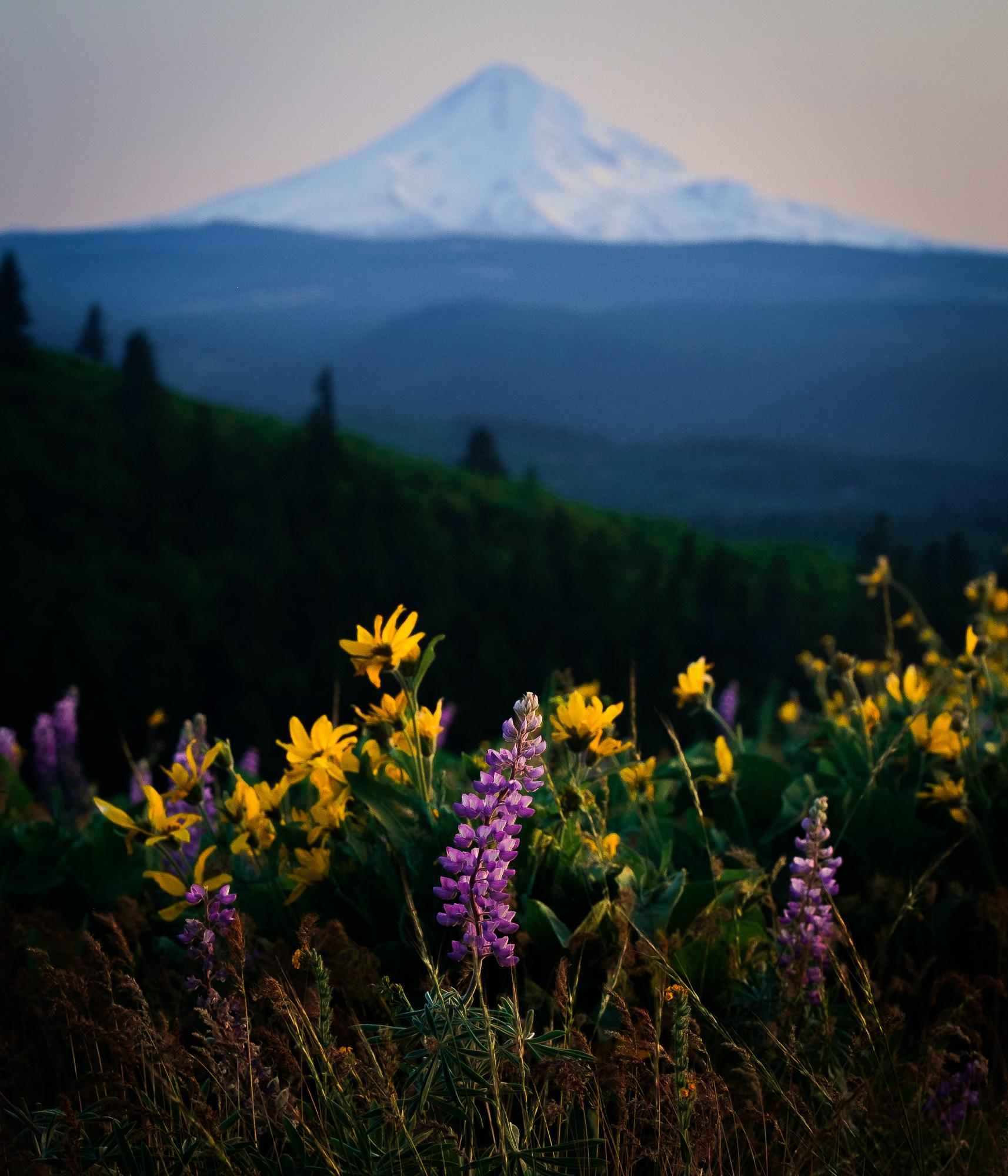 Lupine and Mt. Hood, Oregon