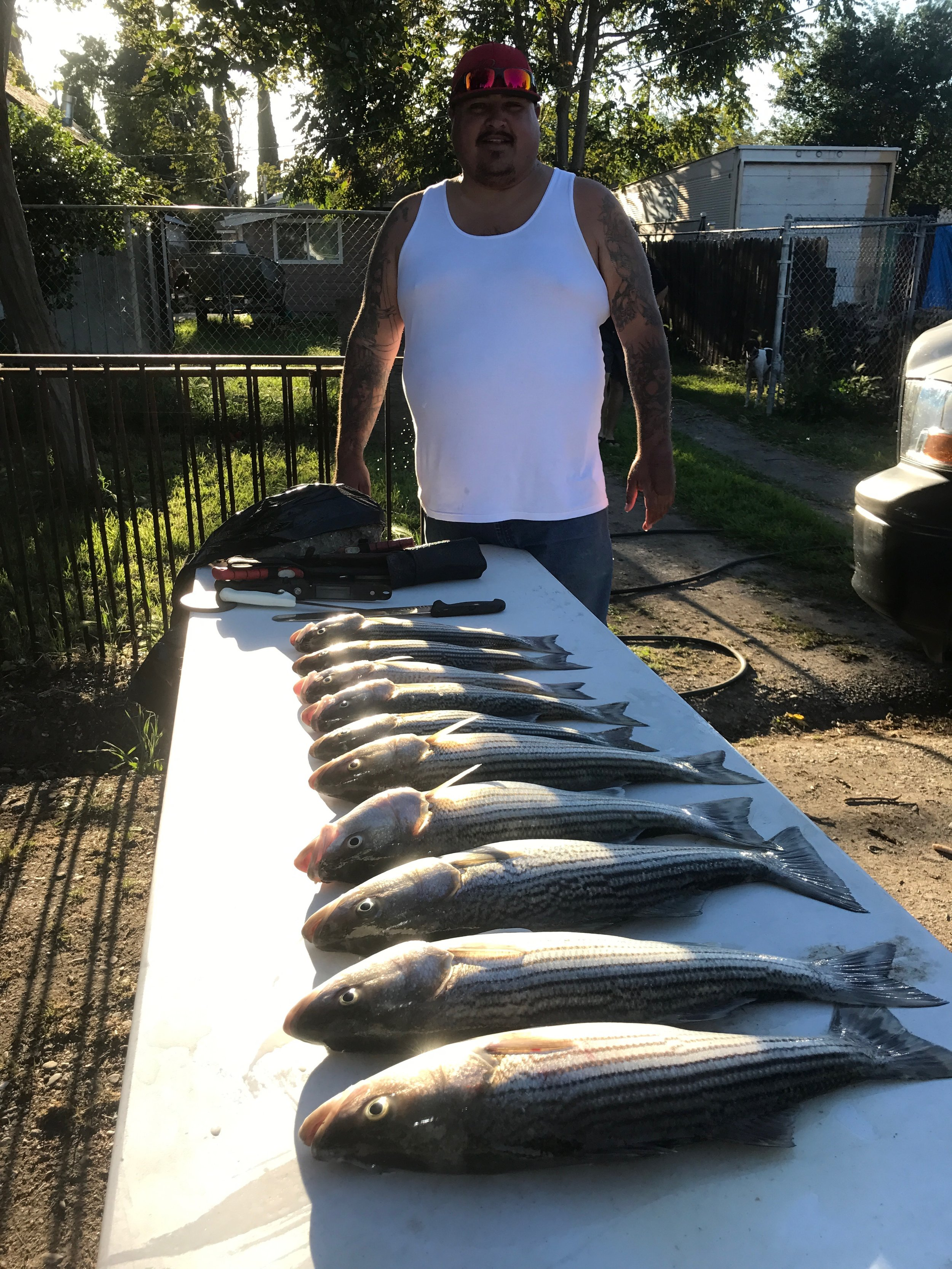 Joe Gamez with  phenixrods.com   and owner and captain of  xsportfishing.com  is pictured with boat limits of linesides he and the crew of  salmonsacriver.com  caught in April, 2017 while drifting live minnows on the Sacramento River near Colusa, Ca.