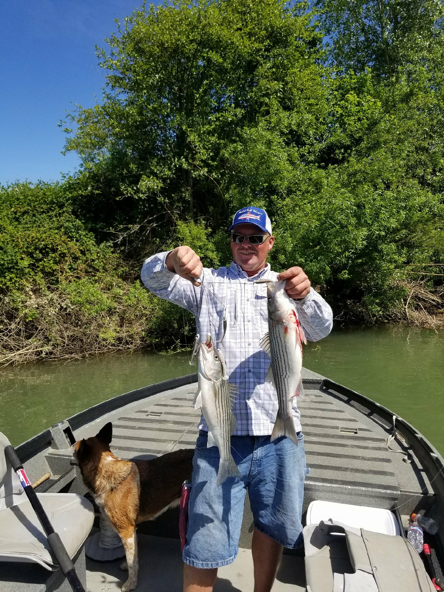 Mike Rasmussen with  SalmonSacRiver.com  holds his limit of keeper striped bass he caught in a single cast using the A-Rig on May 14, 2017 near Woodson Bridge in Corning, Ca on the Sacramento River.
