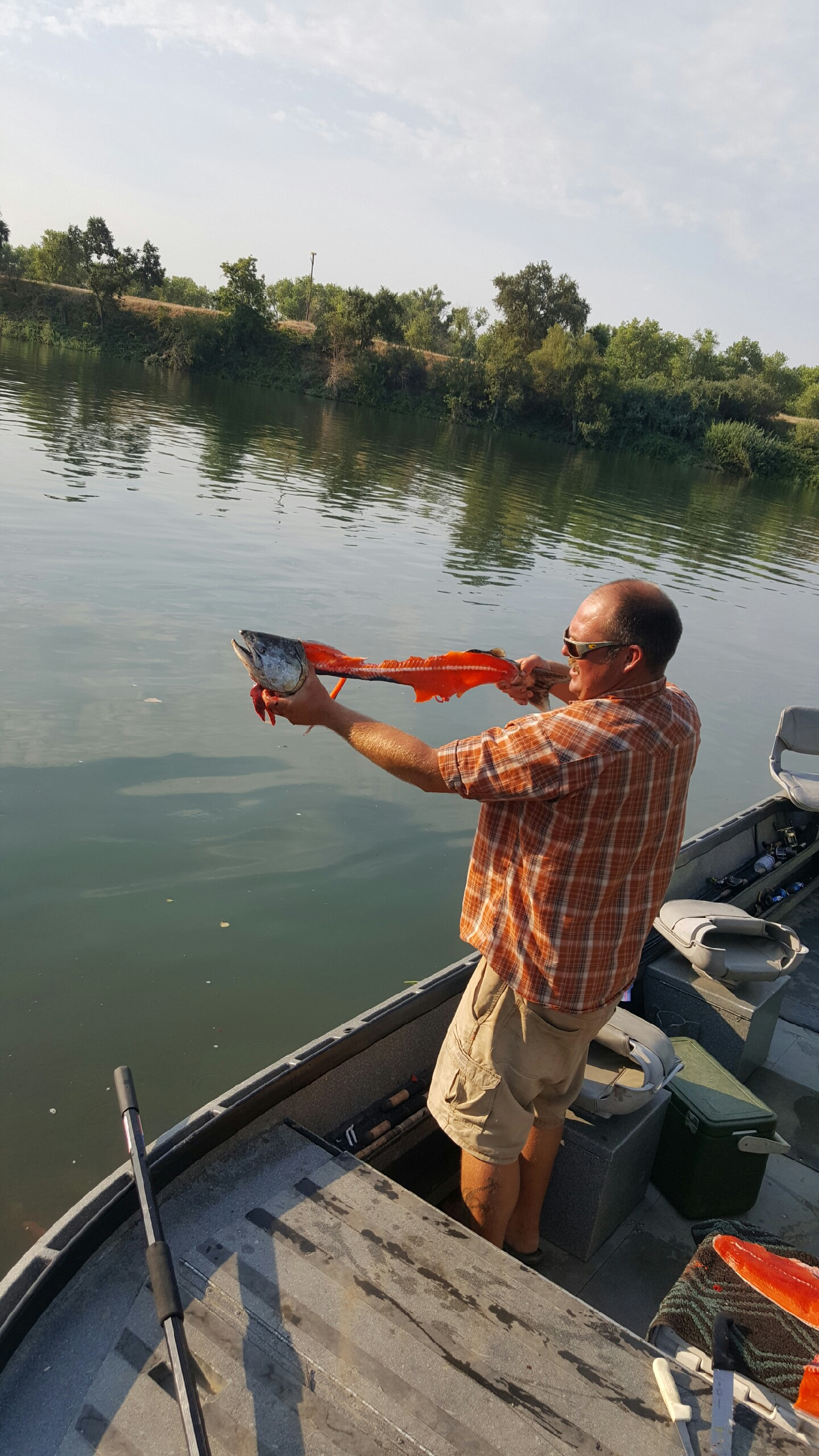 The best grade of salmon all year are swimming up the Feather River every day right now.